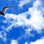 arctic tern - Flatey