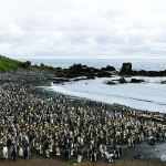 king penguin colony - Macquarie Island