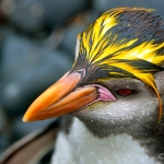 royal penguin - Macquarie Island