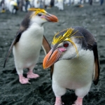 curious royal penguins - Macquarie Island