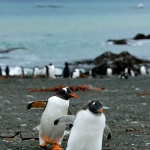 gentoo penguins - Macquarie Island