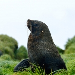 fur seal - Macquarie Island