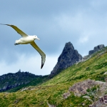 southern royal albatross - Campbell Island