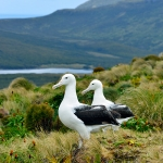 southern royal albatross couple - Campbell Island